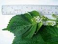 Perilla frutescens (L.) Britton (AM AK360555-2).jpg