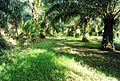 Perkebunan kelapa sawit milik rakyat (62).JPG