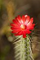 Peru - Cusco Sacred Valley & Incan Ruins 143 - cactus flower (6997267156).jpg