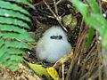 Phaethon lepturus -Cousin Island, Seychelles -chick.jpg