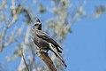 Phainopepla nitens -Anza-Borrego Desert State Park, California, USA -female-8.jpg