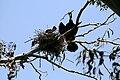Phalacrocorax auritus nest 1.jpg