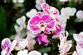 Phalaenopsis hybr. - Internationale Orchideen- und Tillandsienschau Blumengärten Hirschstetten 2016 a.jpg