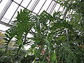 Philodendron selloum2.jpg