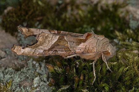 Phlogophora meticulosa, Lodz(Poland)02(js).jpg