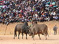 Phonsavan Hmong New Year Bullfight.jpg