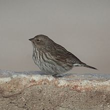 Phrygilus unicolor-Plumbeous sierra finch (Female).jpg