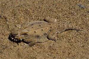 Anti-predator adaptation - Camouflage illustrated by the flat-tail horned lizard, its flattened, fringed and disruptively patterned body eliminating shadow