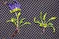Phyteuma sieberi 13.jpg