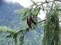 Picea smithiana 005.jpg