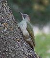 Picus viridis sharpei 001.jpg