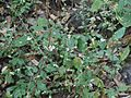 Pierced-leaf Canscora (6928489463).jpg