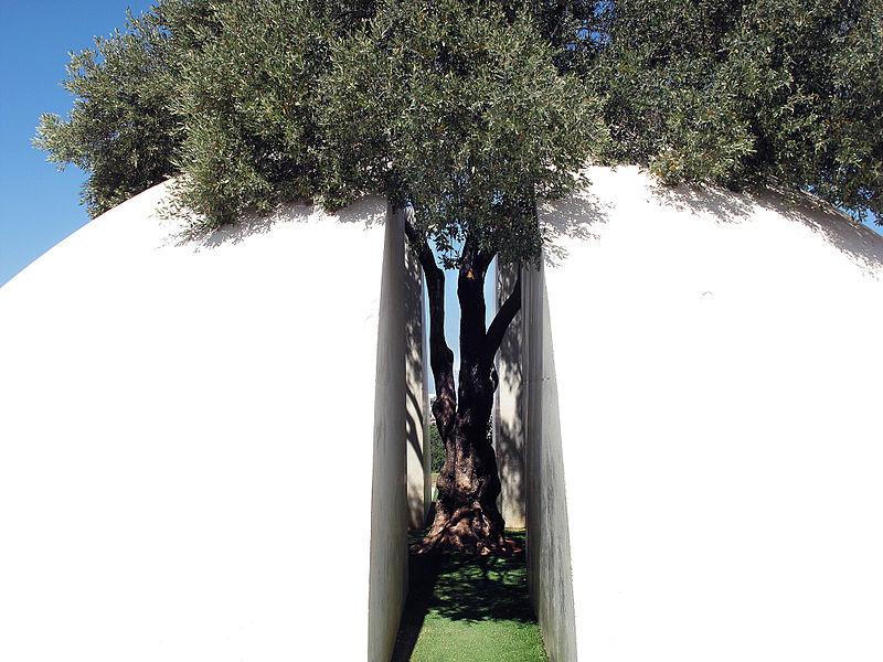 עץ זית בעיר הלבנה