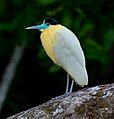 Pilherodius pileatus Capped Heron (cropped).jpg