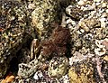 Pilodius areolatus.jpg