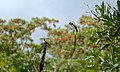 Pin-tailed Whydah (Vidua macroura) (5984205065).jpg