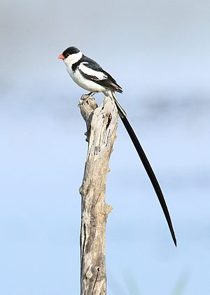 Pin-tailed whydah, Vidua macroura, at Pilanesberg National Park, Northwest Province, South Africa (male) (16372460383).jpg