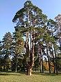 Pine Family Tree (Alexandria Dendropark).jpg