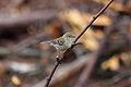Pine Warbler (Setophaga pinus) female (3585044541).jpg