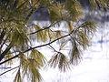 Pine tree needles.jpg