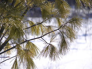English: Pine tree (Pinus strobus) needles in ...
