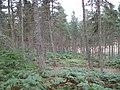 Pine woods on Plora Rig - geograph.org.uk - 535987.jpg