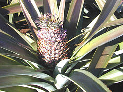 Pineapple Oahu.jpg