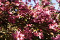Pink-tree-blossom - West Virginia - ForestWander.jpg