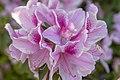 Pink Azaleas (48793453686).jpg