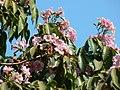 Pink Poui (348661274).jpg