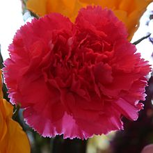 Pink carnation crop two.jpg