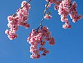 Pink double cherry blossoms in Torp 7.jpg