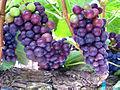 Pinot Noir Grapes Ripening.jpg
