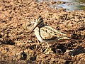 Pintail snipe-from kattampally wetland - 3.jpg