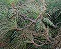 Pinus canariensis - immature cones - Flickr - S. Rae.jpg