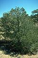 Pinus edulis Antero.jpg