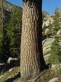 Pinus lambertiana - Flickr - pellaea.jpg