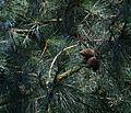 Pinus muricata (Bishop Pine) - Flickr - S. Rae.jpg