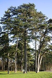 Pinus_nigra