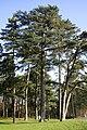 Pinus nigra JPG2A.jpg
