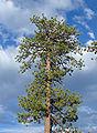 Pinus ponderosa Bryce Canyon NP.jpg