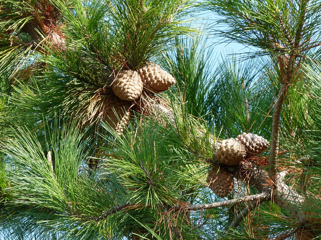how to tell the age of a pine tree