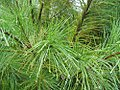 Pinus strobus 20zz.jpg