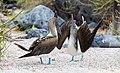 Piquero patiazul (Sula nebouxii), isla Lobos, islas Galápagos, Ecuador, 2015-07-25, DD 42.JPG