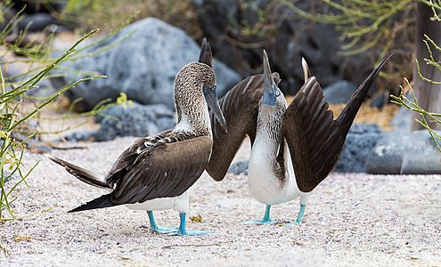 A couple of blue-footed boobies (Sula nebouxii) in the middle of a mating ritual, Lobos Island, Galapagos Islands, Ecuador.