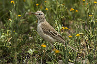 Plain-backed Pipit - Tanzania 0025 (16999610272).jpg