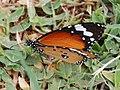 Plain Tiger (2774104036).jpg