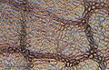 Plant leaf epidermis (255 18) Upper epidermis of lime tree (Tilia).jpg