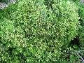 Plantago arborescens subsp. maderensis.JPG