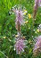Plantago media flowerheads.jpg